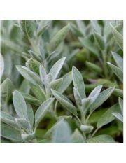 Sementes Salvia